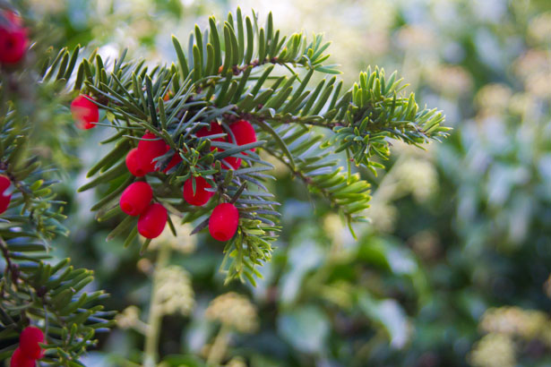 Winter Berry Free Stock Photo Public Domain Pictures