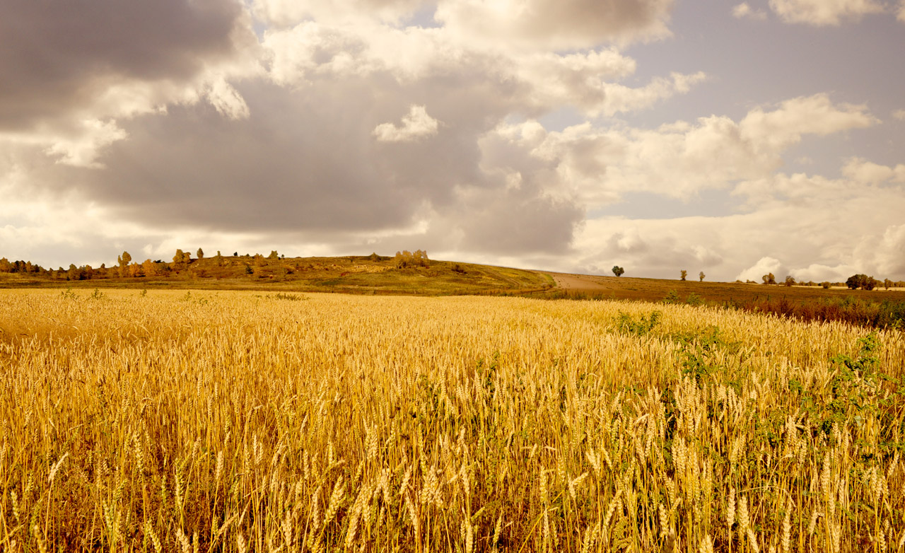 Gold Fields Free Stock Photo Public Domain Pictures