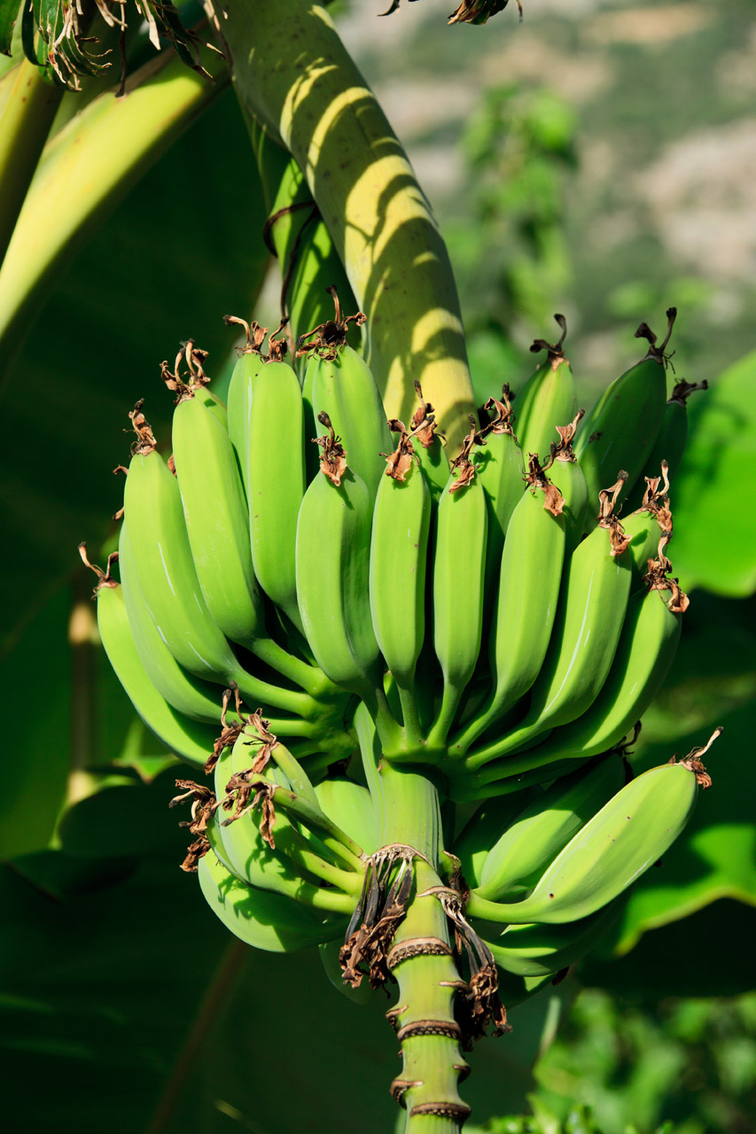 Latest Full Hd Wallpapers 1080p Unripe Bananas Free Stock Photo Public Domain Pictures