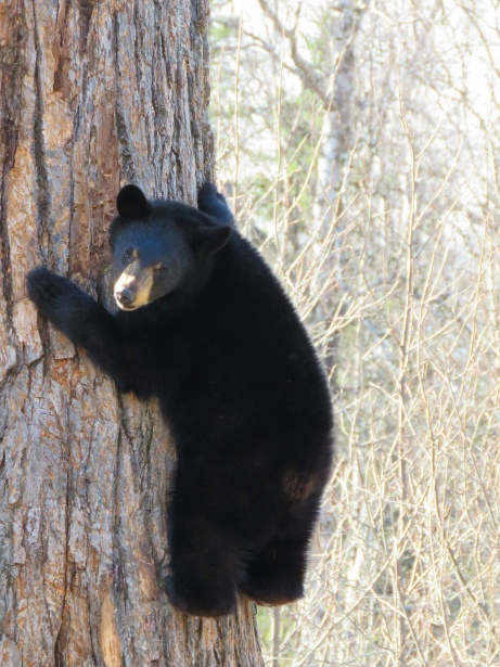 Wallpaper So Cute Black Bear Free Stock Photo Public Domain Pictures