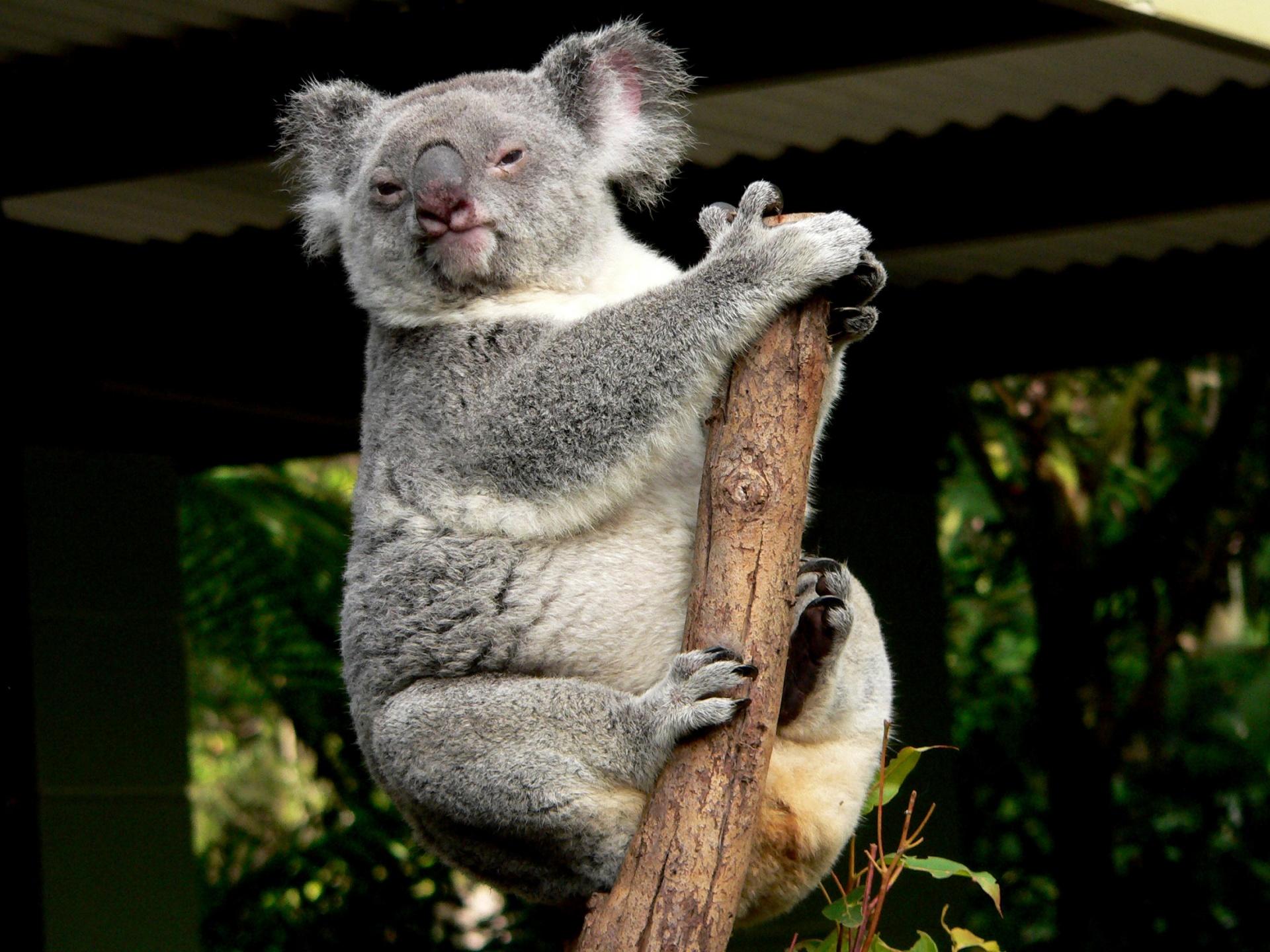 Cute Digital Wallpaper Koala Bear Free Stock Photo Public Domain Pictures