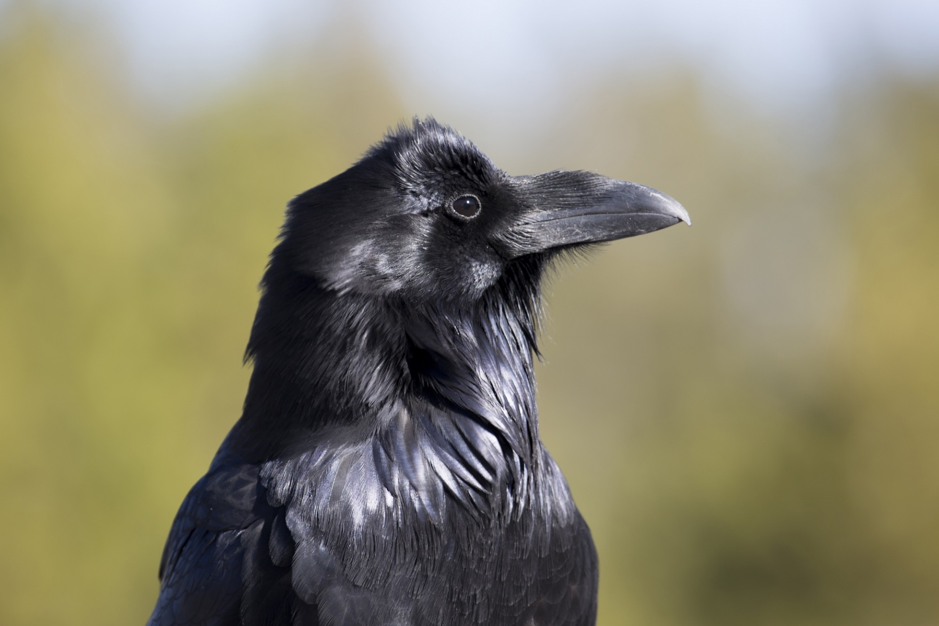 Image result for Picture of raven free
