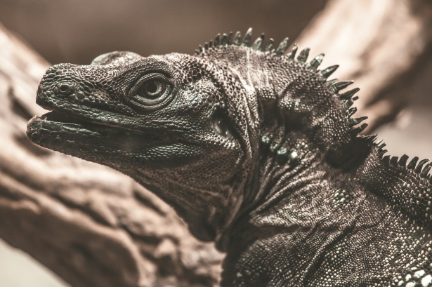Large Lizard Free Stock Photo  Public Domain Pictures