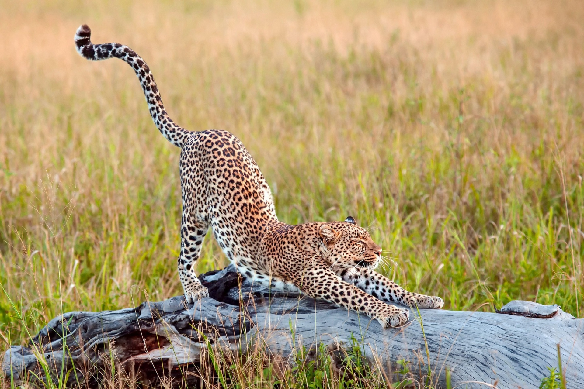 Cheetah Free Stock Photo  Public Domain Pictures
