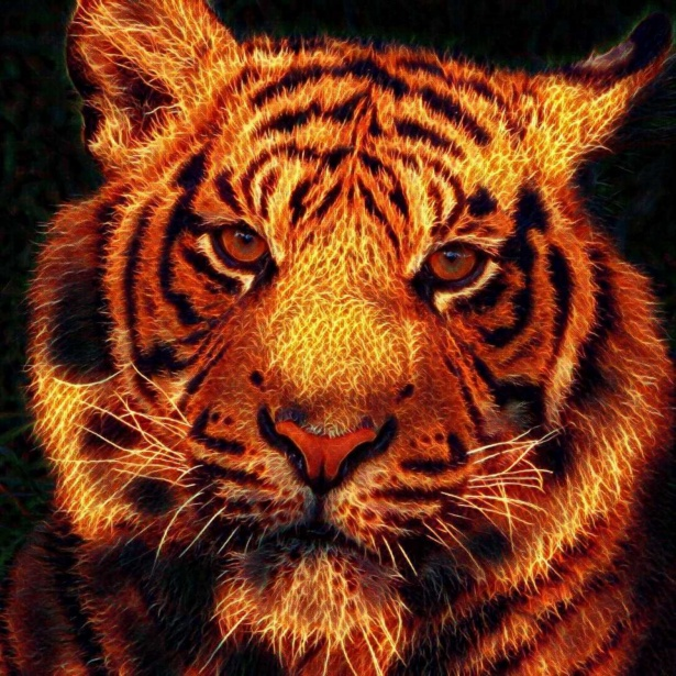 Tiger Animal Wallpaper Fire Tiger Free Stock Photo Public Domain Pictures