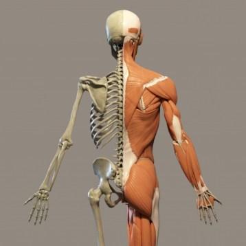 Human Anatomy Free Stock Photo - Public Domain Pictures