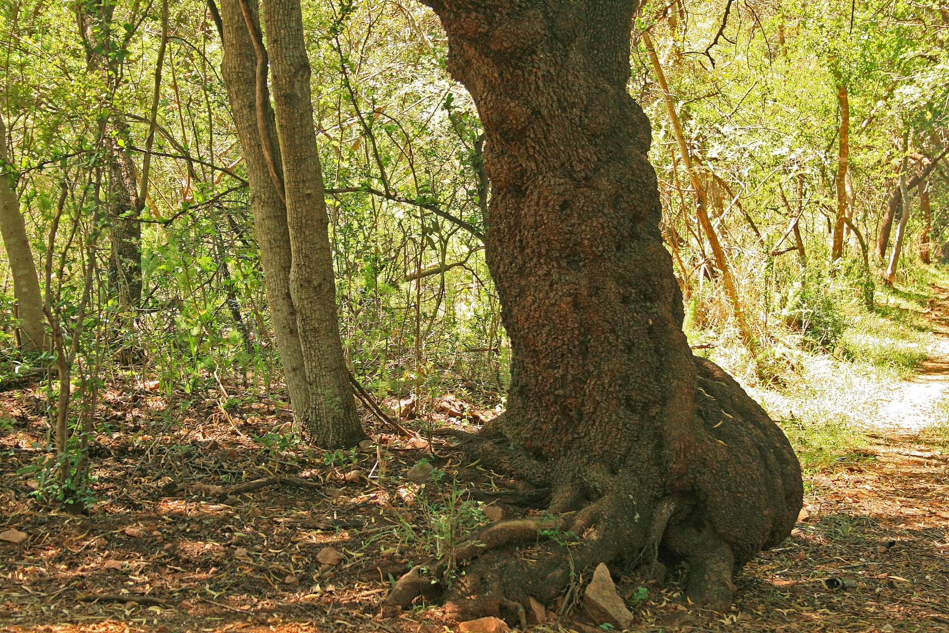 Gnarled Tree Trunk Free Stock Photo - Public Domain Pictures