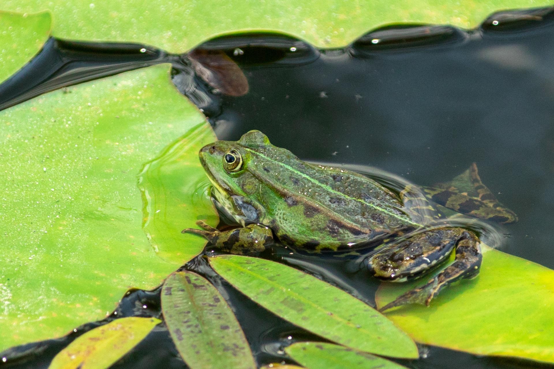 青蛙 免費圖片 - Public Domain Pictures