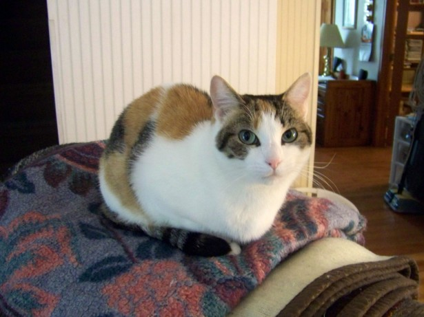 Calico Cat On Chair Free Stock Photo  Public Domain Pictures