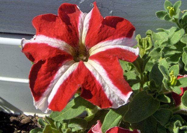 Rouge Et Blanc Petunia Fleur Photo Stock Libre Public