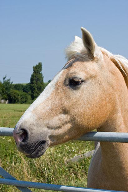 Palomino Horse Portrait Free Stock Photo  Public Domain