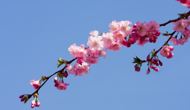 Pink Blossom Flowers Free Stock Photo  Public Domain Pictures