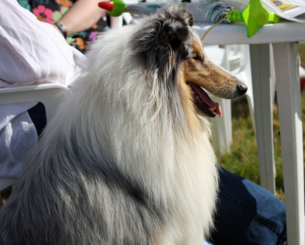 Rough Collie Dog Profile Free Stock Photo  Public Domain