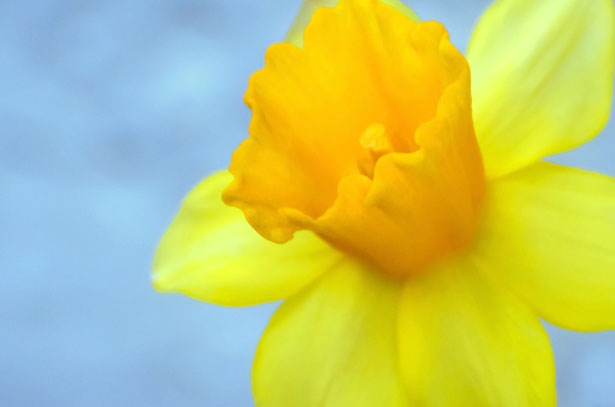 Yellow Flower  Easter Free Stock Photo  Public Domain