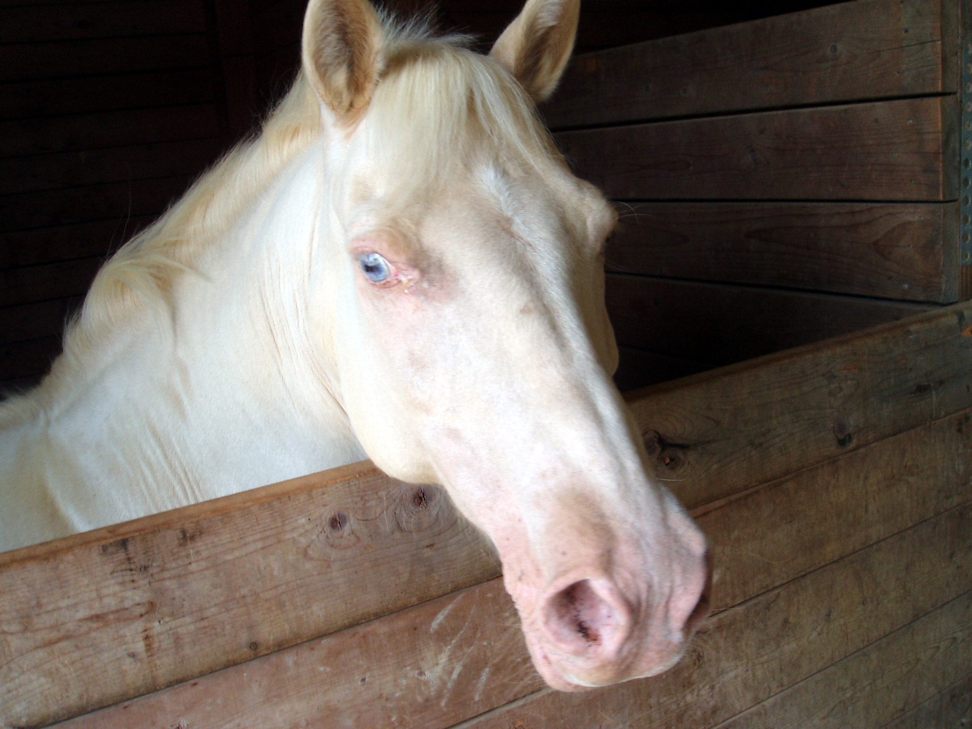 Animal Farm Wallpaper White Horse Face Free Stock Photo Public Domain Pictures