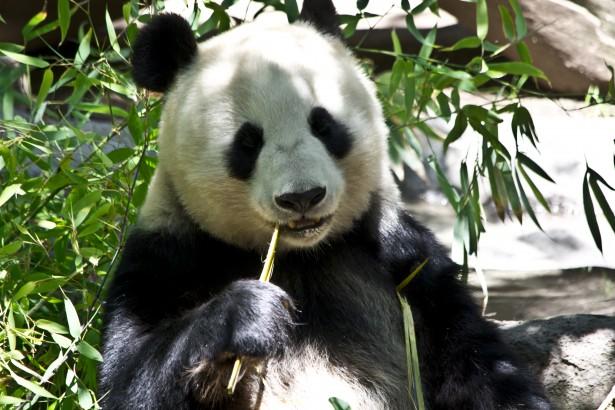 Image result for panda bear