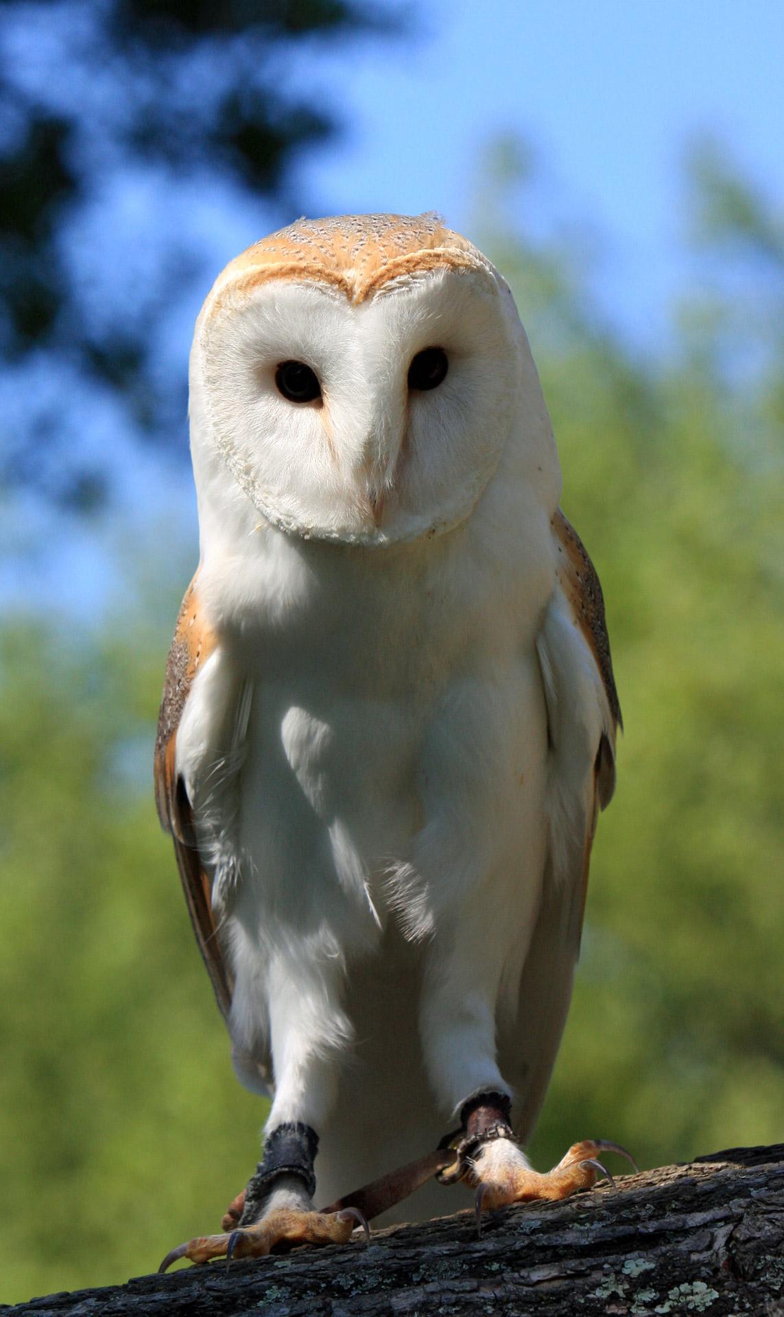 Barn Owl Portrait Closeup Free Stock Photo  Public