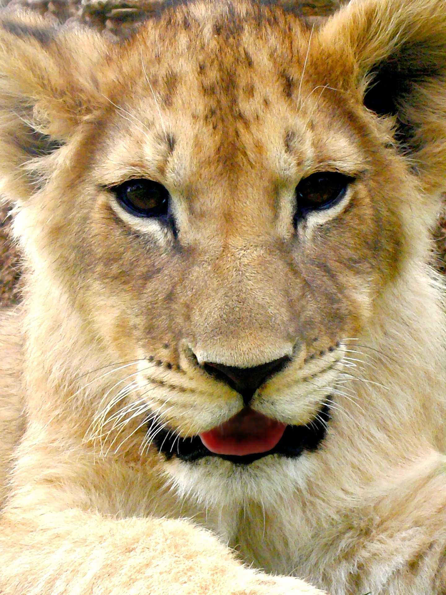 Painting Of Lion Cub Free Stock Photo Public Domain Pictures