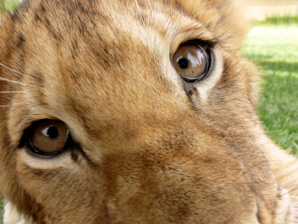 Lion Cub Face Closeup Free Stock Photo  Public Domain Pictures