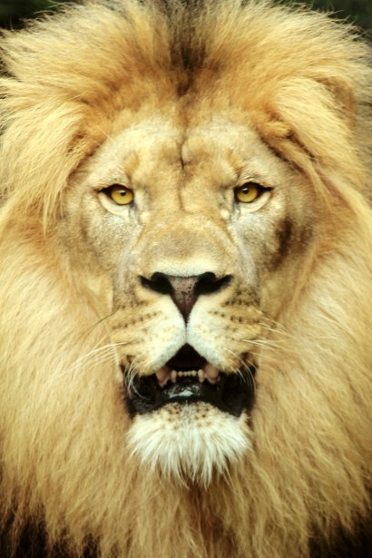 Majestic Lion Free Stock Photo Public Domain Pictures