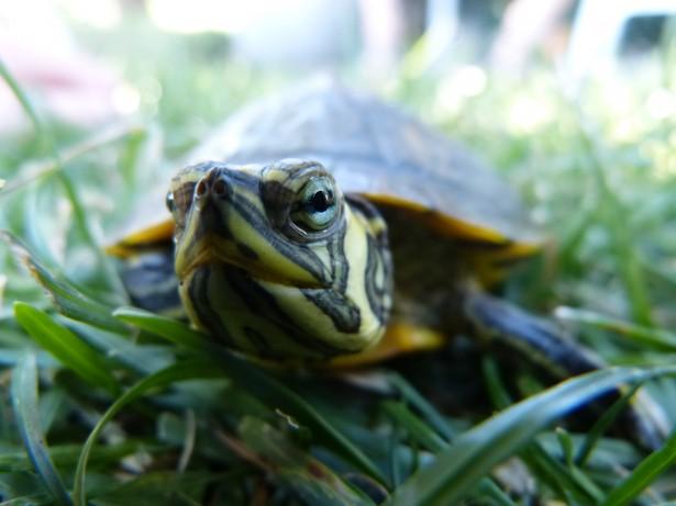 Sr. Tortuga II.