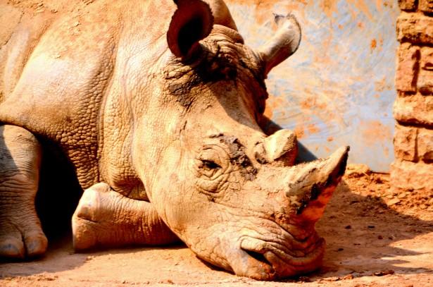 Rinoceronte (a)