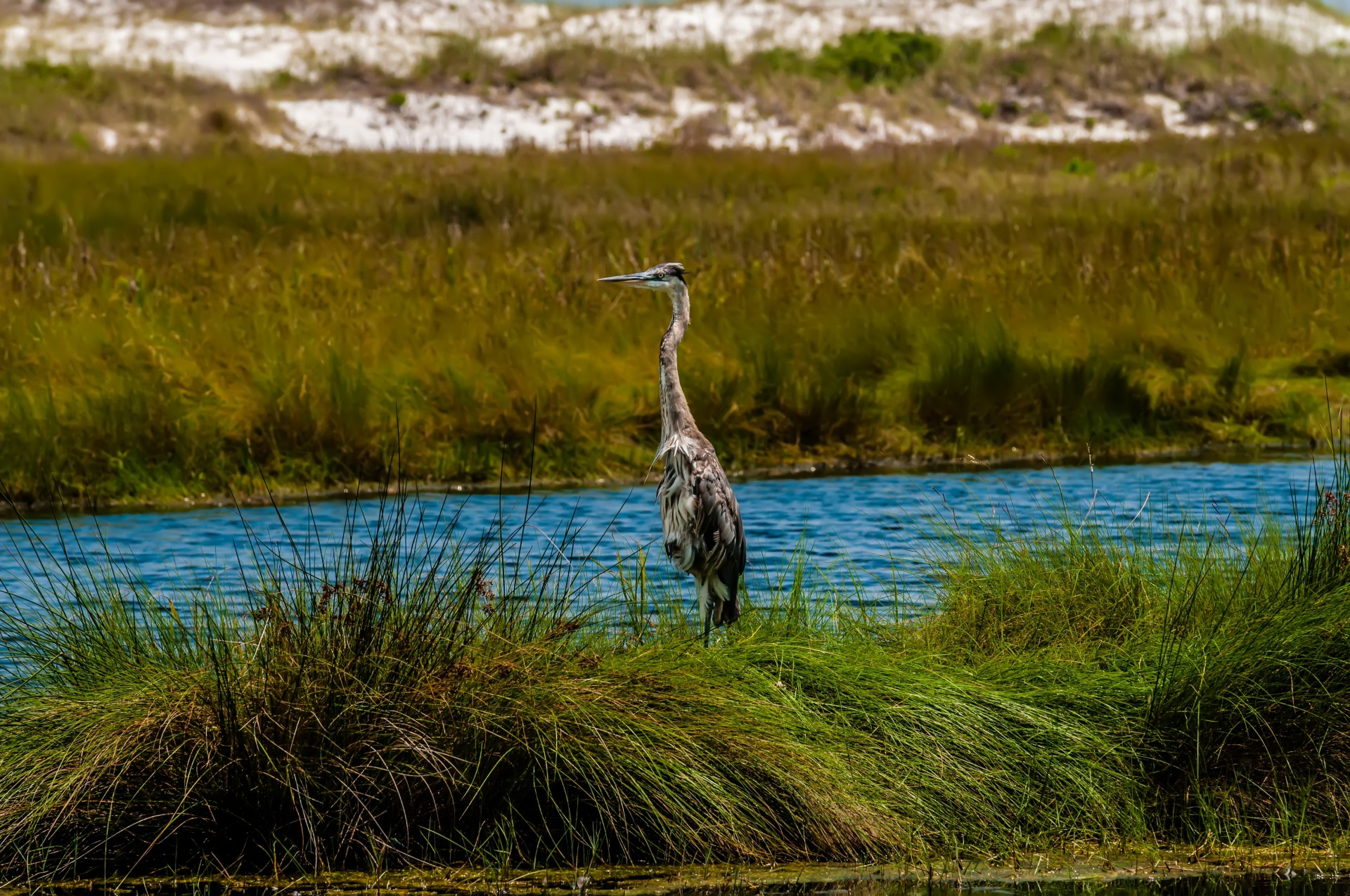Note 8 Hd Wallpaper Blue Heron In The Everglades Free Stock Photo Public