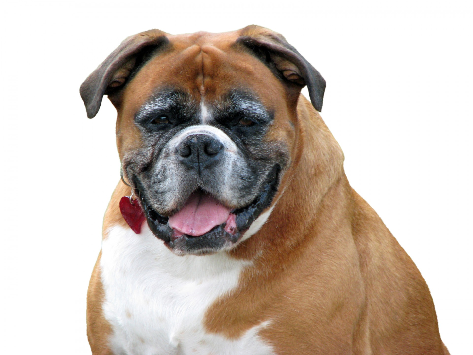 imágenes de perros Boxer