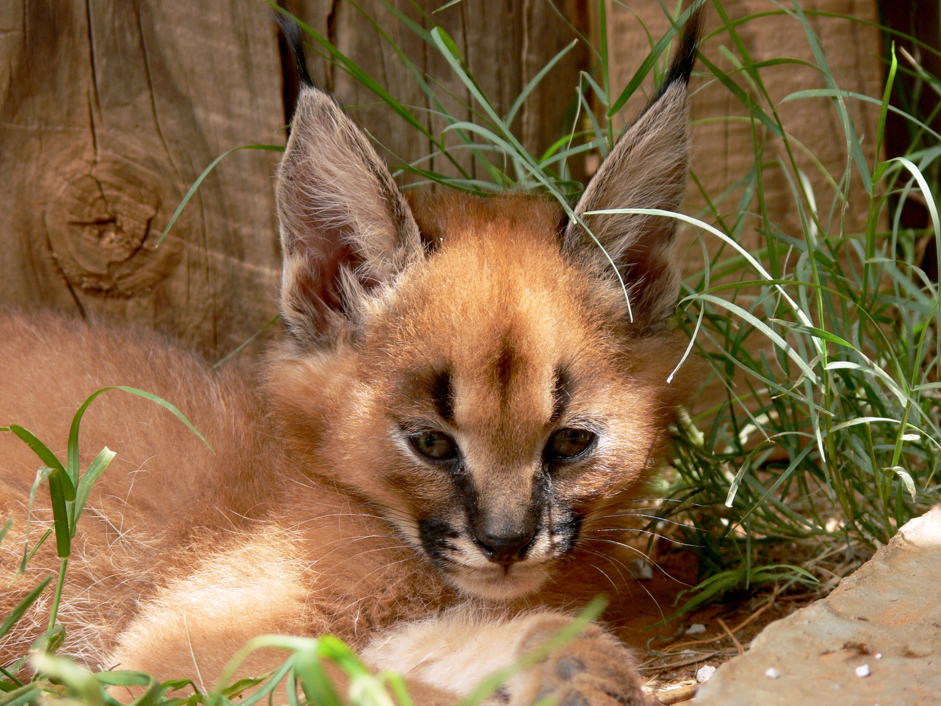 Cute Furry Wallpaper Caracal Kitten Free Stock Photo Public Domain Pictures
