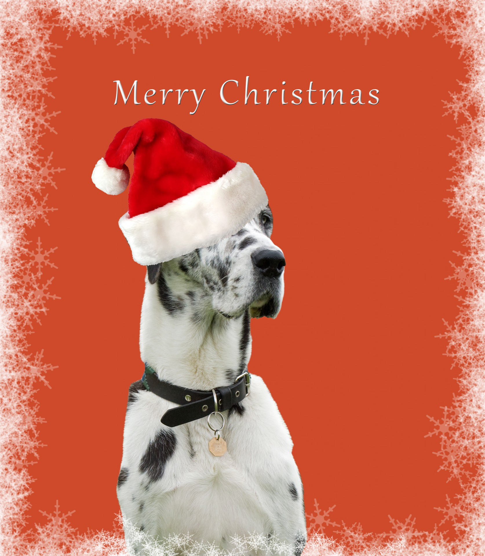 Dog Christmas Card Free Stock Photo Public Domain Pictures