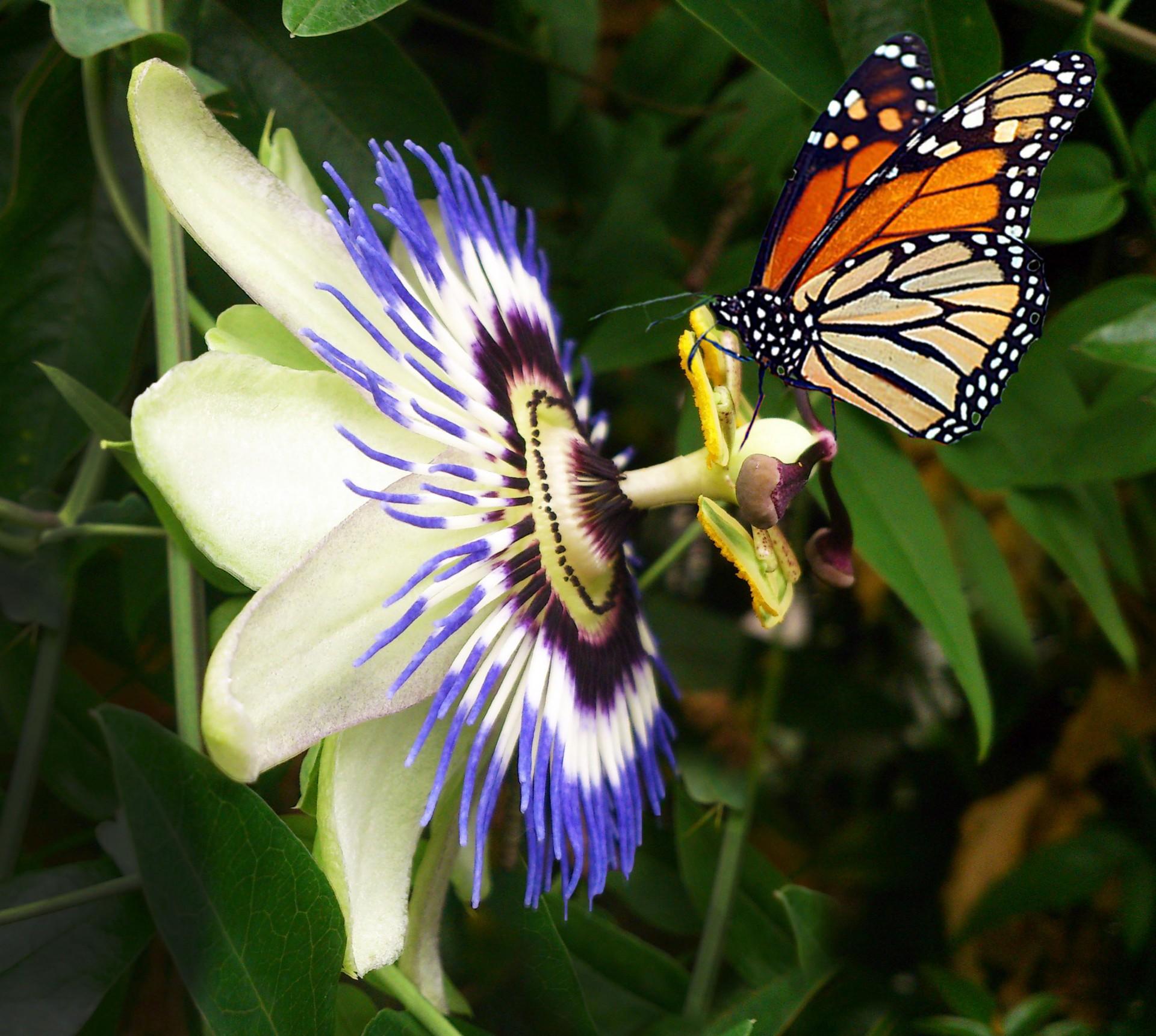 https://i0.wp.com/www.publicdomainpictures.net/pictures/60000/velka/passion-flower.jpg