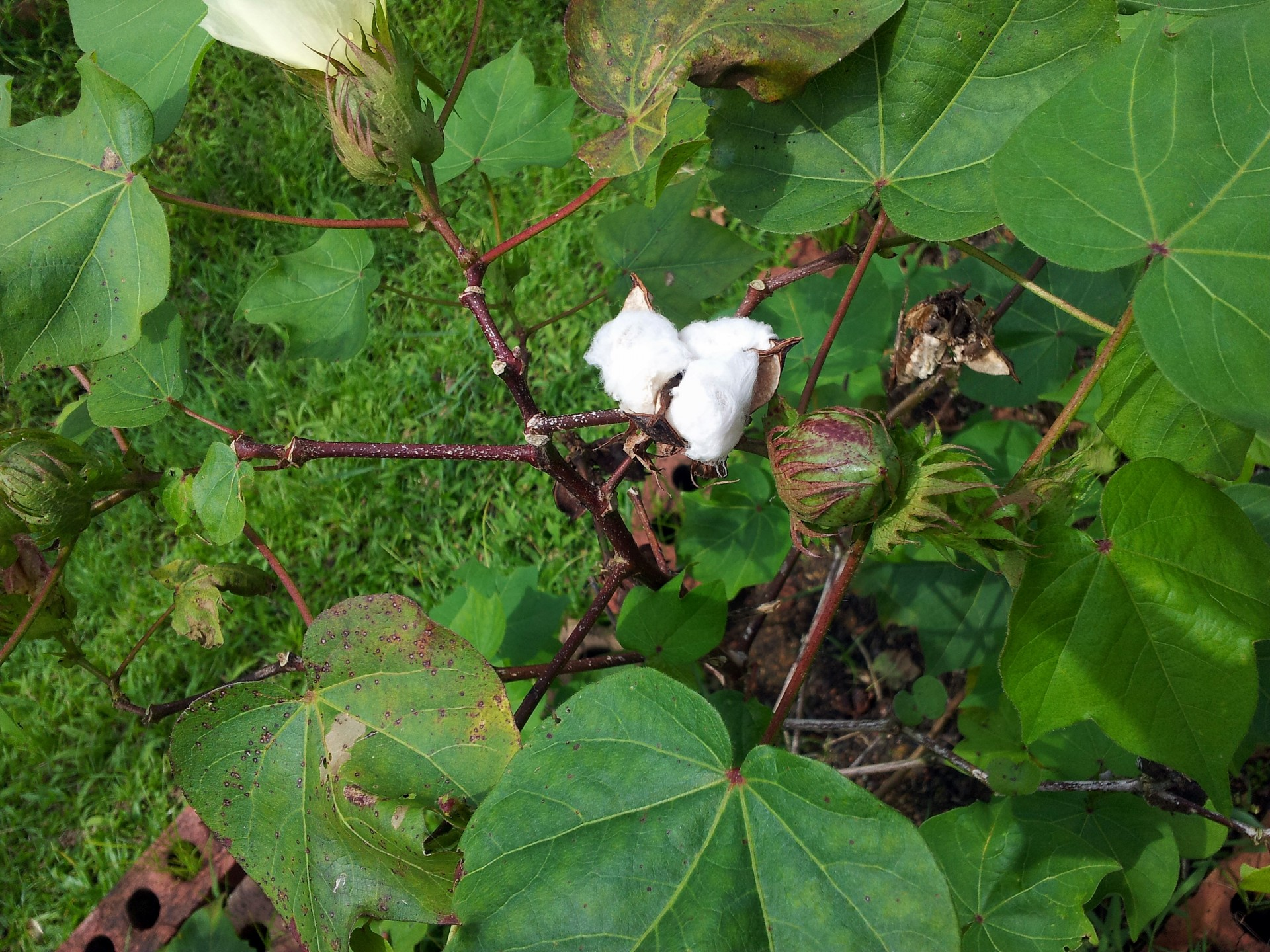 Samsung Wallpaper Hd Cotton Plant With Buds Free Stock Photo Public Domain