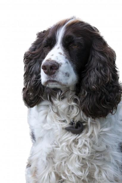 Dog Portrait White Background Free Stock Photo  Public