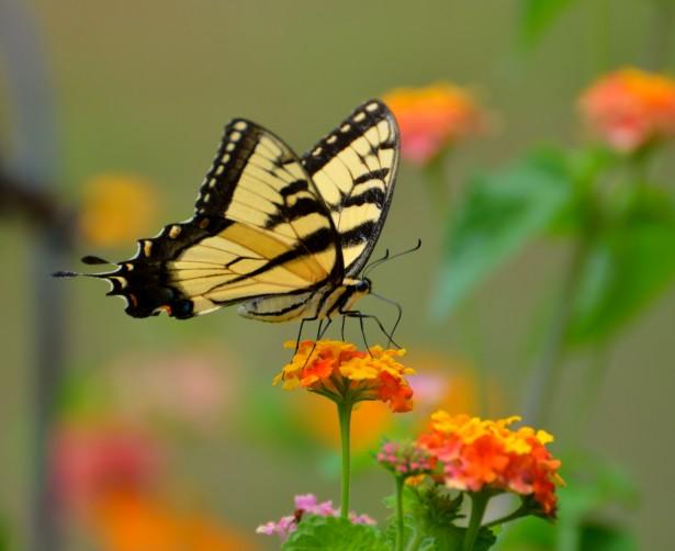 Www Hd Animal Wallpaper Com Tiger Swallowtail Butterfly Free Stock Photo Public