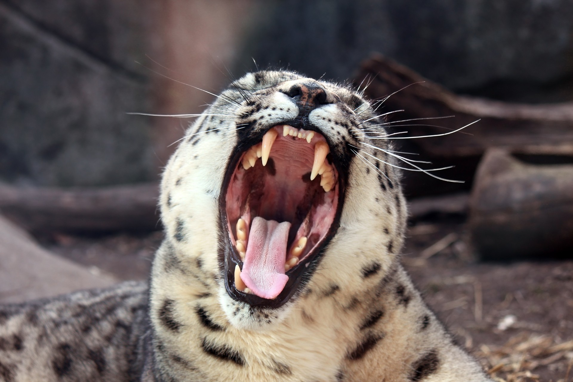 leopard, laughing, animals, zoo