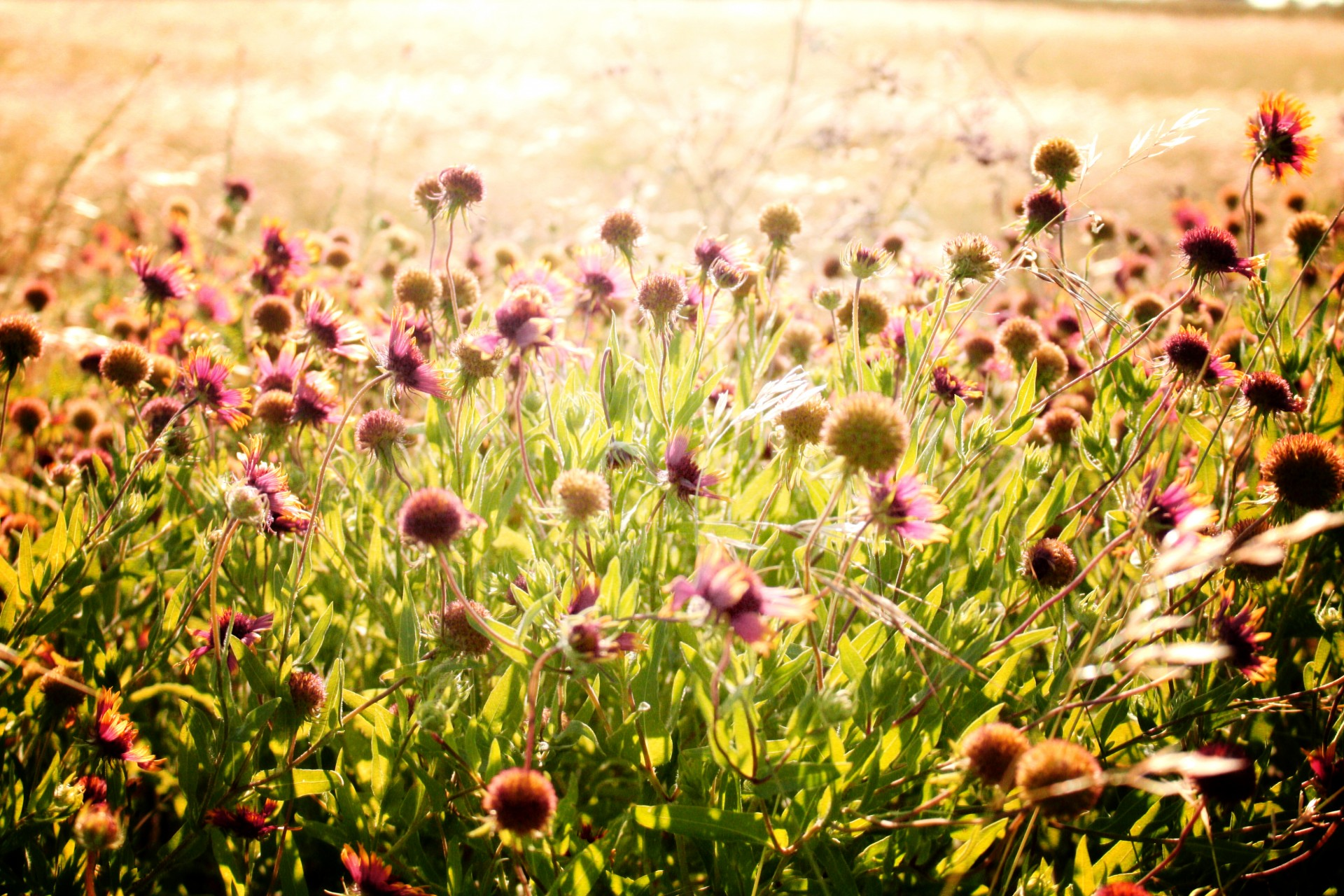Wildflower Field Free Stock Photo  Public Domain Pictures