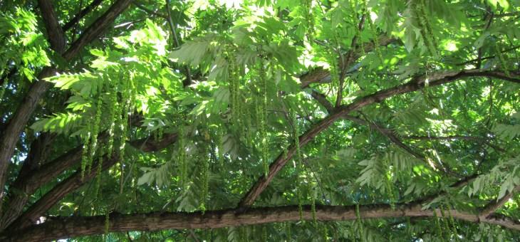 Heritage Trees #80-88 | Knott Street Caucasian Wingnuts