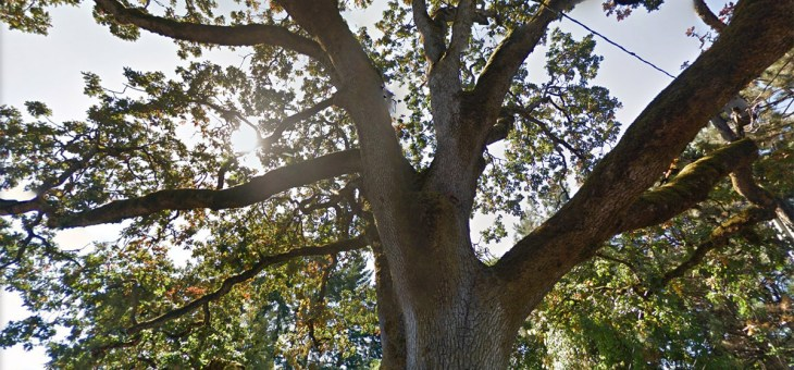 Heritage Tree #272 | Lents' Oregon White Oak