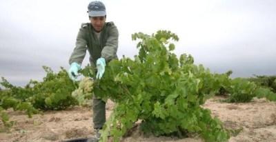 Un agricultor recoge uva en la vendimia 2007.