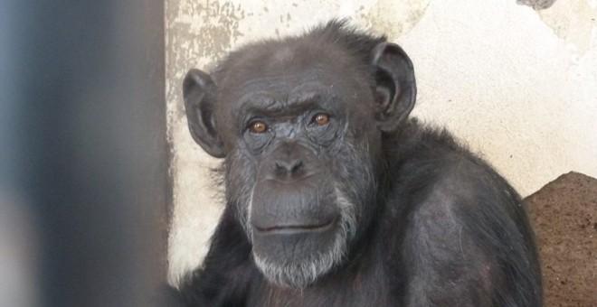 Cecilia, una chimpancé que será trasladada a un Santuraio.