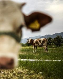 Vacas. AFP