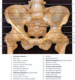 pelvis and ligaments cadaver front view [ 800 x 1014 Pixel ]