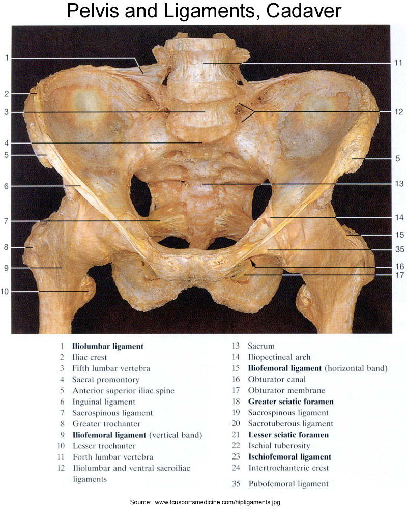 hight resolution of pelvis and ligaments cadaver front view
