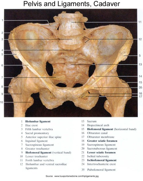 small resolution of pelvis and ligaments cadaver front view