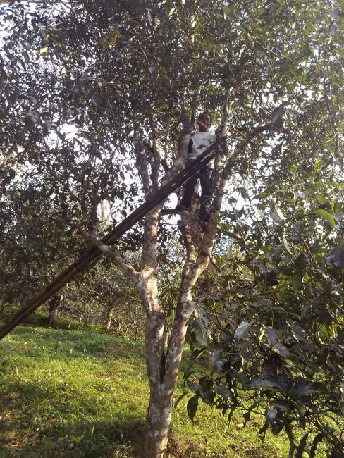 Ancient tea tree