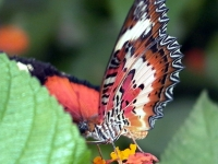 Photo of fuchsia and cranberry-colored butterfly
