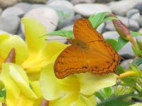 Orange butterfly alights on yellow flowers at Puerto Beach Resort's Butterfly Garden