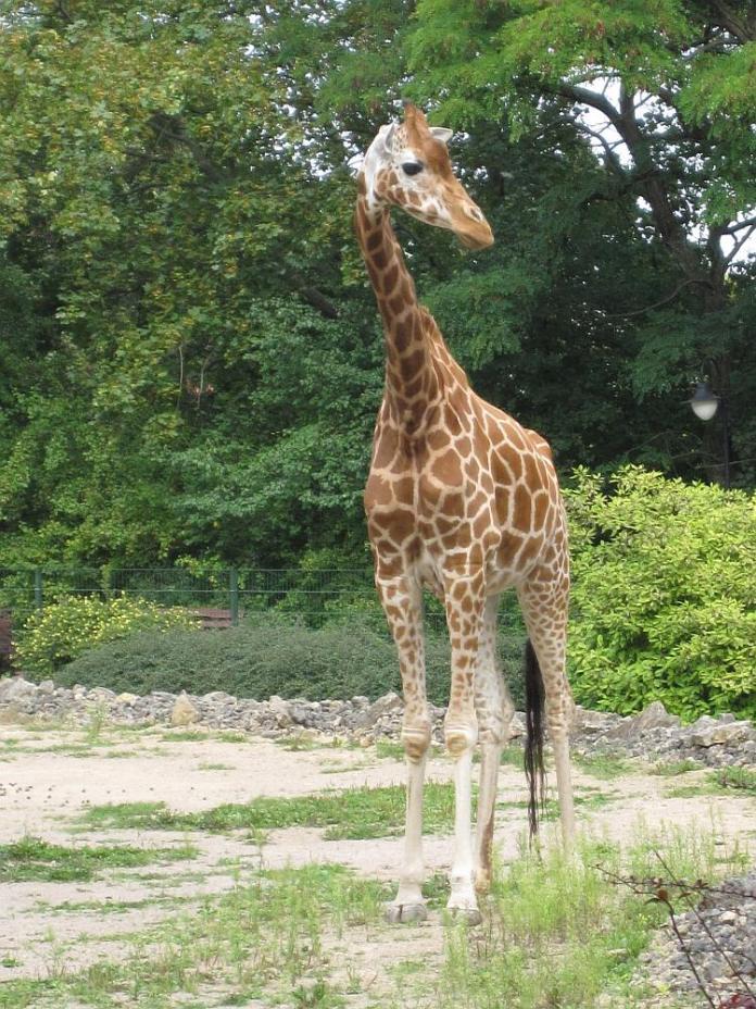 """Giraffenkuh """"Gunda"""" im Sommer 2011 im Zoopark."""