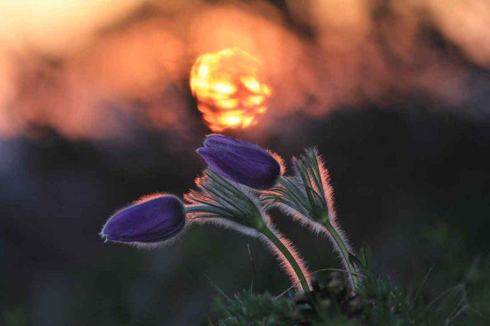 Kuhschelle im Licht der untergehenden Sonne Kopie