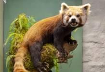 """Von Roten Pandas und andere abenteuerliche Geschichten: """"Das besondere Exponat"""" im Naturkundemuseum Erfurt"""